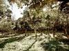 Coltivazione di limoni a Sorrento